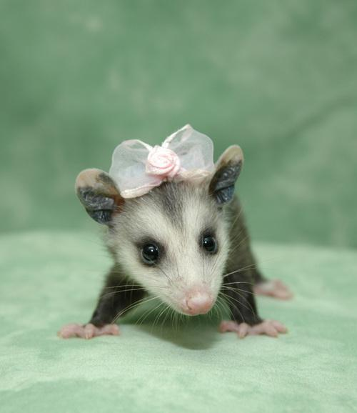 Smiling Possum Possums are cute!