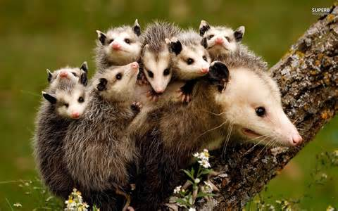 possum family awkward!